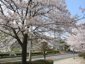금변공원 벚꽃나들이